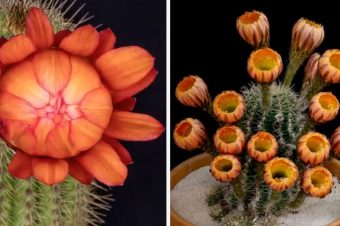 Schöne Kaktusblüten