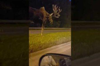 Ein Elch auf Straße