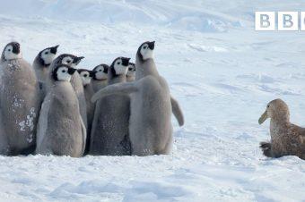 Junge Pinguine werden gerettet