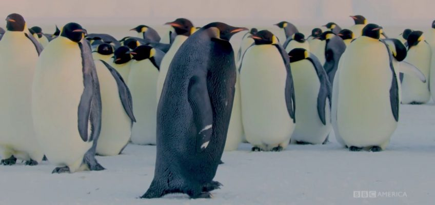 Ein schwarzer Pinguin