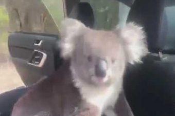 Ein Koala im Auto