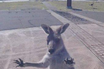 Fallschirmspringer wird von Känguru begrüßt