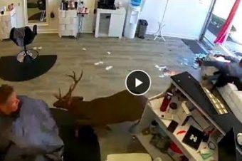 Ein Hirsch beim Frisör