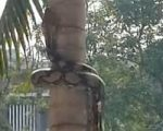 Schlange klettert Baum hinauf