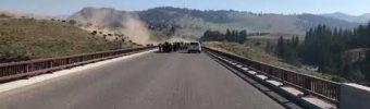 Bison-Herde überquert eine Straße